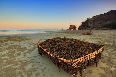 Tanaman laut dijual masyarakat pantai Watu Parunu