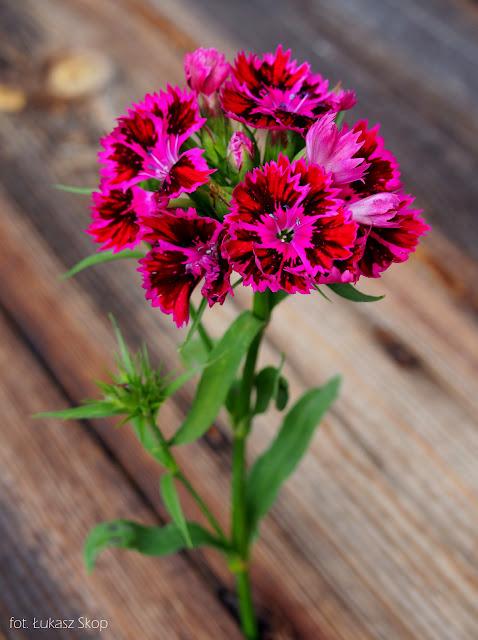 jadalne kwiaty goździka
