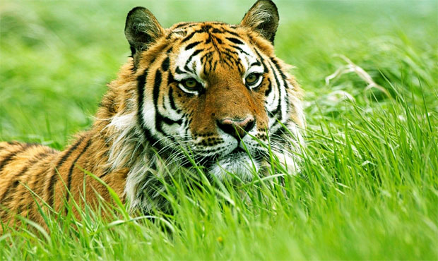 harimau makan rumput
