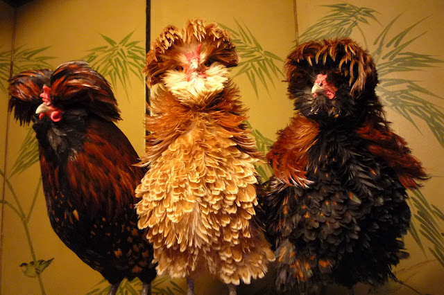 Bearded and crested Polish roosters gold black-laced and chamois