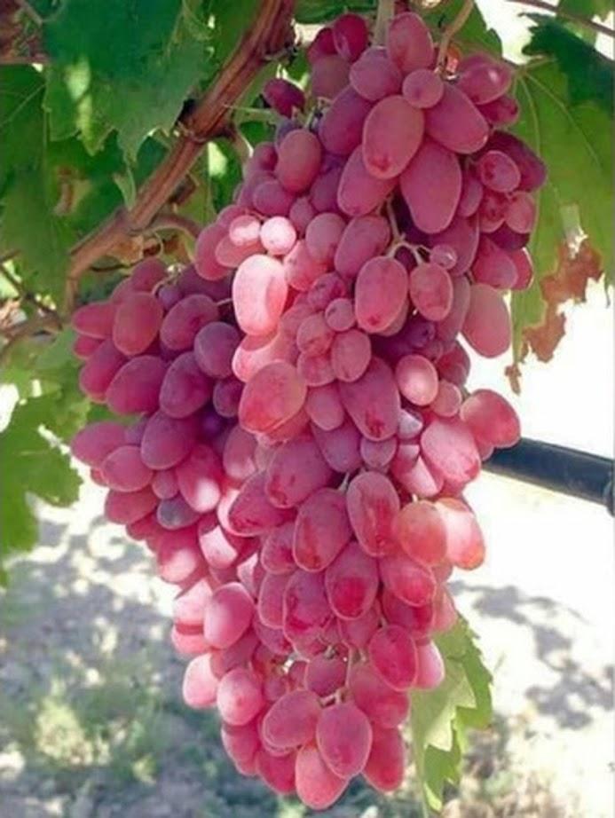 Bibit Anggur Import douvosky pink Garansi Valid 100 Maluku Utara