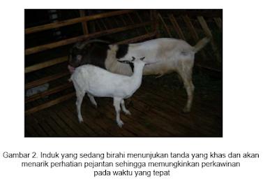 ciri ciri kambing atau domba birahi atau ingin kawin