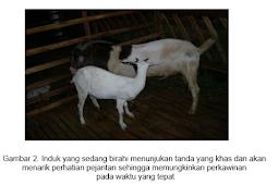 Bagaimana MENGELOLA  PERKAWINAN INDUK kambing atau domba yang baik ?
