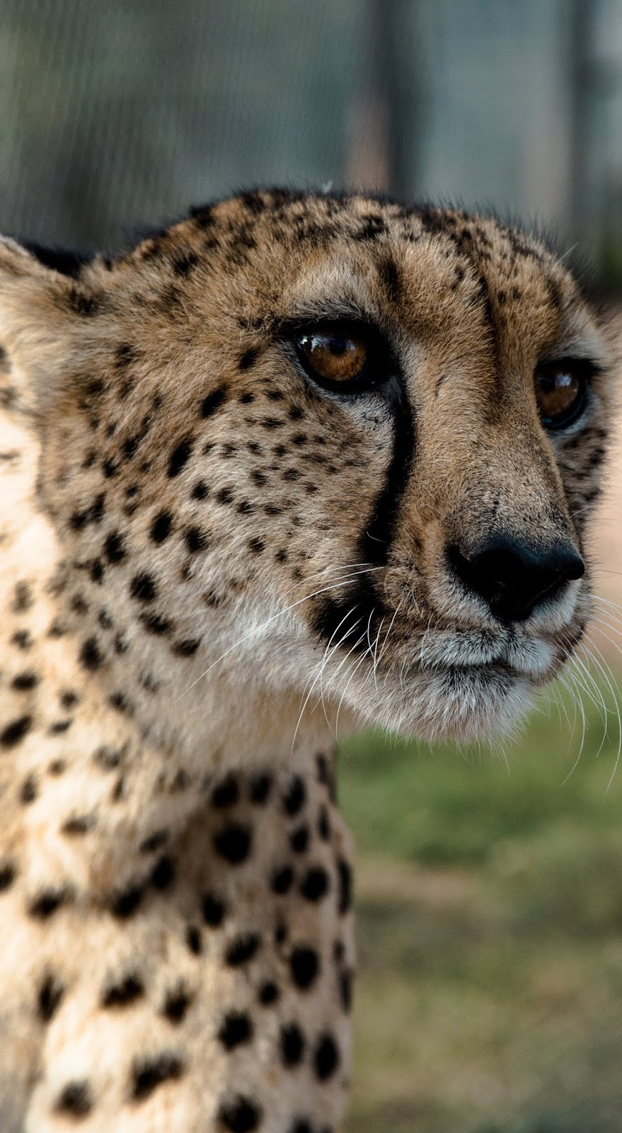 A cheetah's face up close.