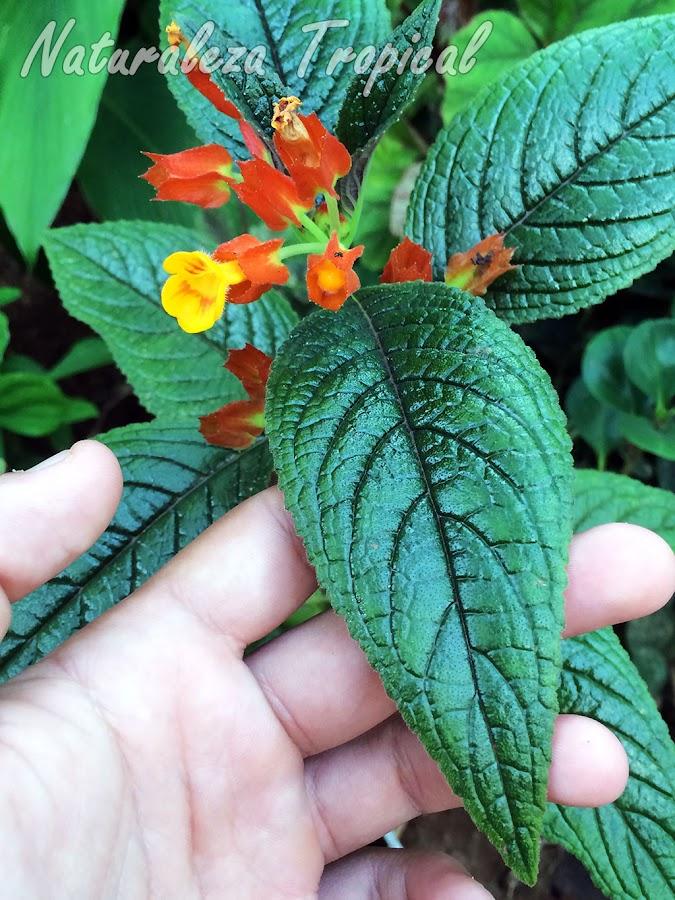 Vista del brillo metálico de las hojas de la planta Chrysothemis pulchella