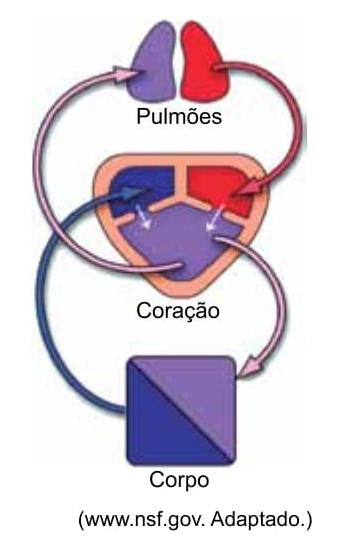 A figura mostra como os sistemas circulatório e respiratório se associam no corpo de determinado animal
