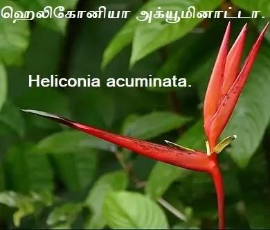 ஹெலிகோனியா அக்யூமினாட்டா - Heliconia acuminata.