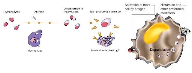Pathogenesis-allergic-rhinitis