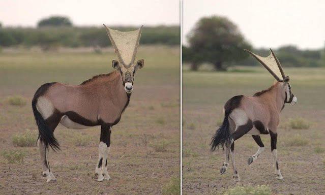 A spider weaved a web between the horns of an antelope