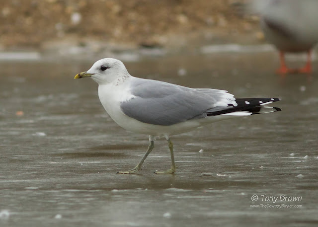 Heinei Common Gull, Russian Common Gull, Eastern Intergrade