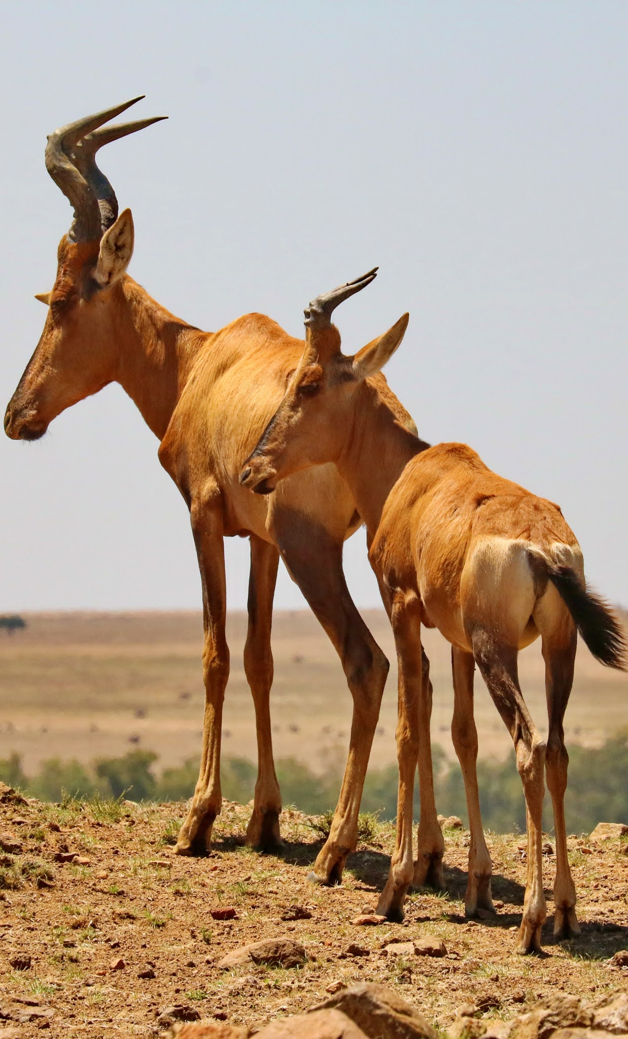 Male and female red hartebeest.