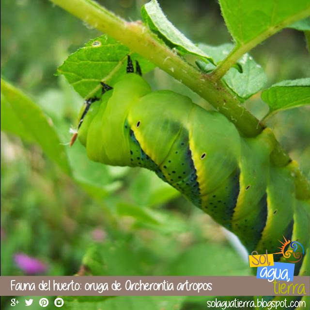 Grandes orugas que podemos encontrar en nuestro huerto, en este caso Archerontia artropos o esfinge calavera
