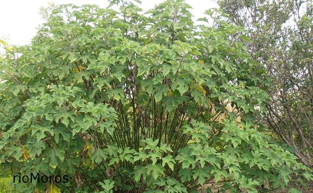 Botón de oro Tithonia diversifolia