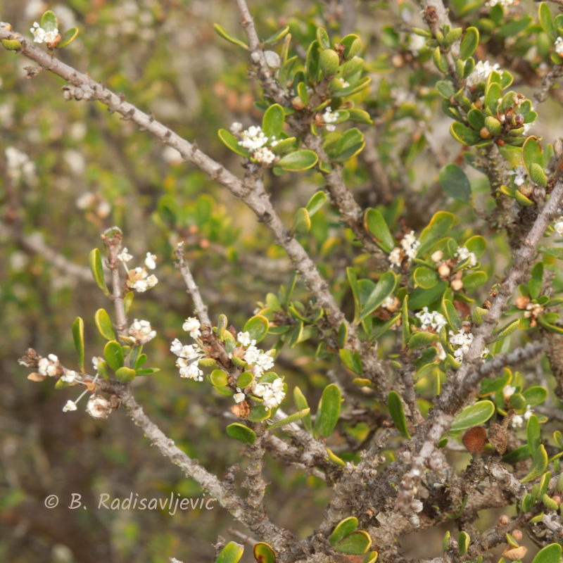 The Elfin Forest in Los Osos, California: A Review in Photos- Flora