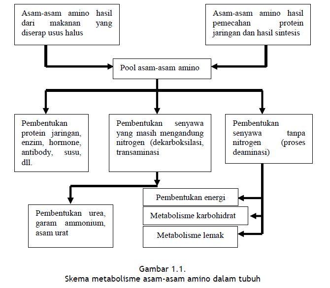 Skema metabolisme asam-asam amino dalam tubuh