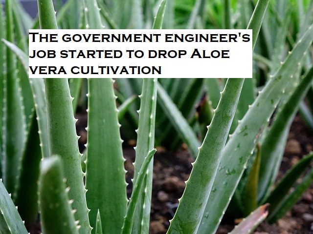 Aloe vera cultivation,Aloe Vera Farming Businessman Harish Dhandev