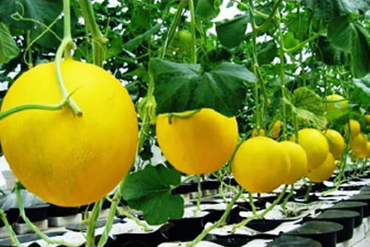 Produk Terbaru Bibit Benih Seed Buah Melon Golden Manis Sweety Fruit Honeydew Salatiga