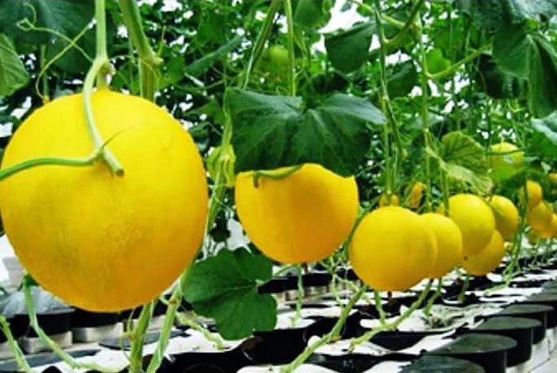 Produk Terbaru Bibit Benih Seed Buah Melon Golden Manis Sweety Fruit Honeydew Jambi