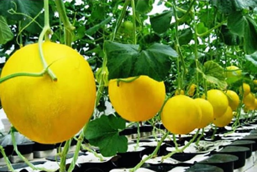 Produk Terbaru Bibit Benih Seed Buah Melon Golden Manis Sweety Fruit Honeydew Cirebon