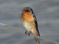 Welcome Swallow visits the boat (Lake Macquarie, NSW, Australia)