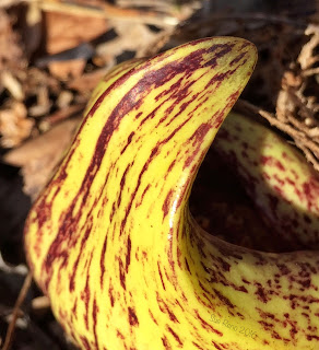 Skunk Cabbage emerging
