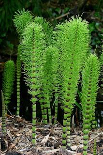 planta indicadora de ouro