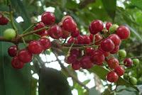 http://manfaatnyasehat.blogspot.com/2013/06/manfaat-daun-salam-dan-buah-salam-untuk.html