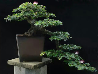 best bonsai japan