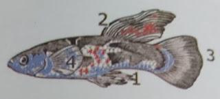 ciri ciri ikan guppy jantan
