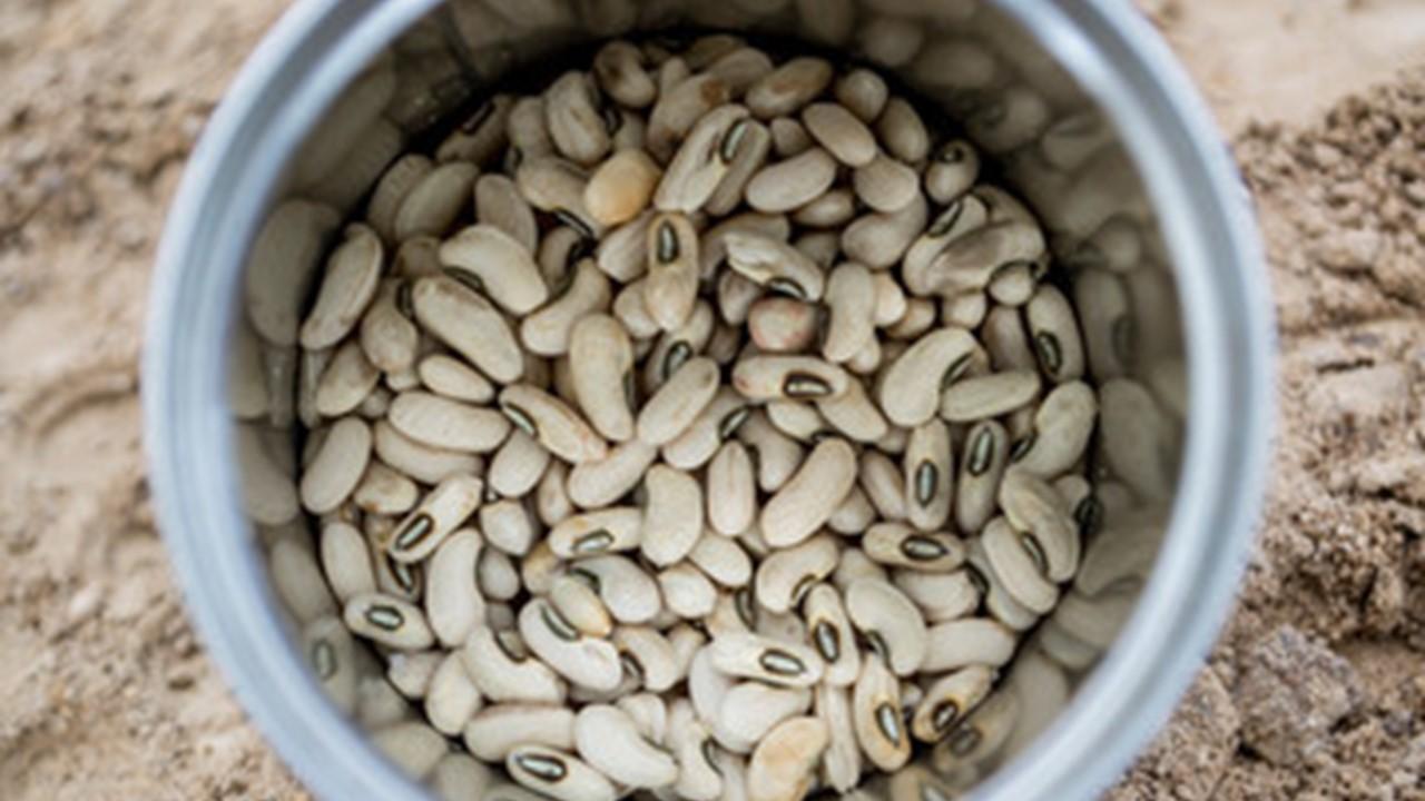 Bibit Kacang Panjang