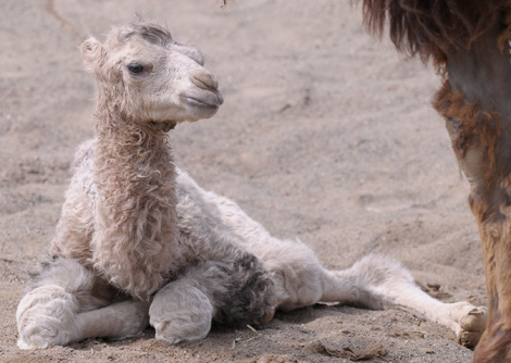 Baby Animals: Camel - Calf 34