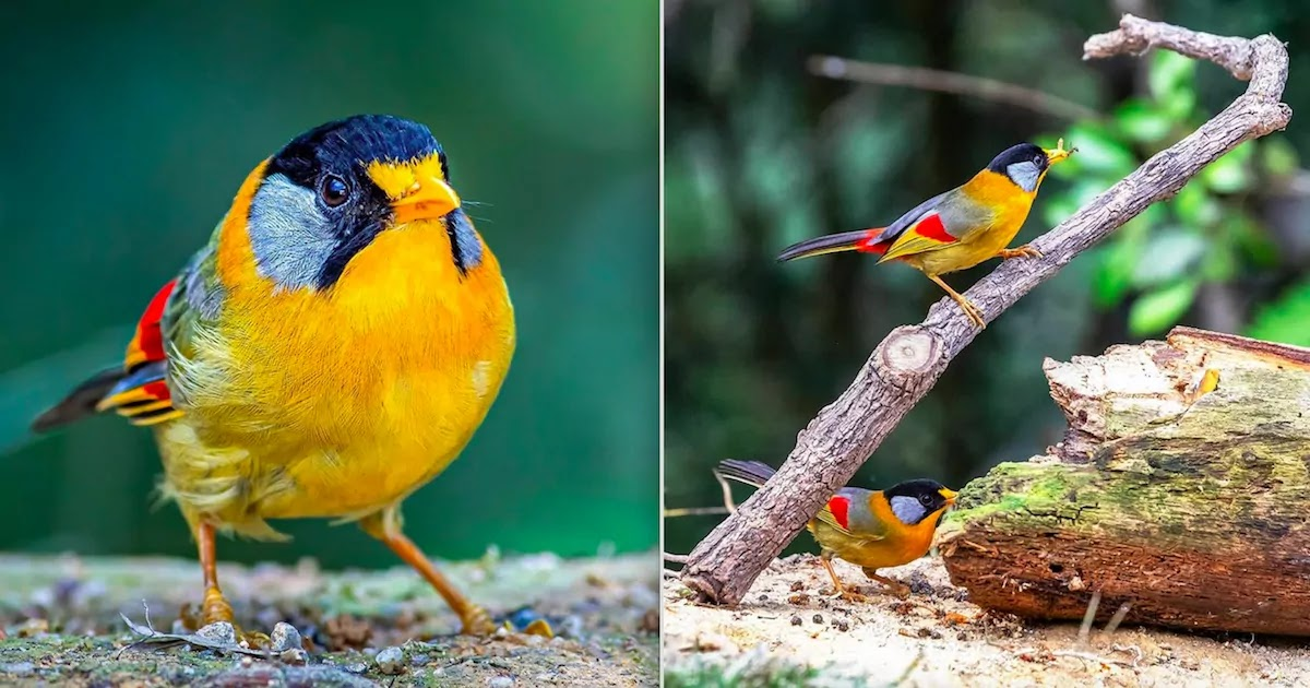 Check Out The Silver-Eared Mesia, A Gorgeous Bird Covered In Vibrant Colours