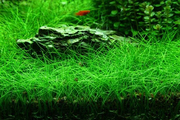 How To Care And Grow Dwarf Hair Grass In Aquarium