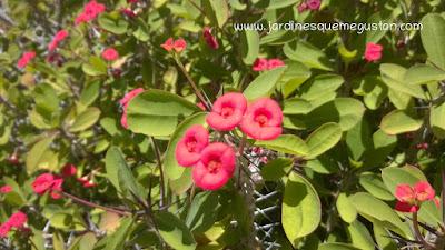 Espinas en el tallo de Euphorbia milii
