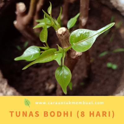 Tunas Bodhi (8 Hari)