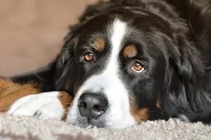 10 giống chó lớn tốt nhất cho những người muốn vật nuôi ấn tượng