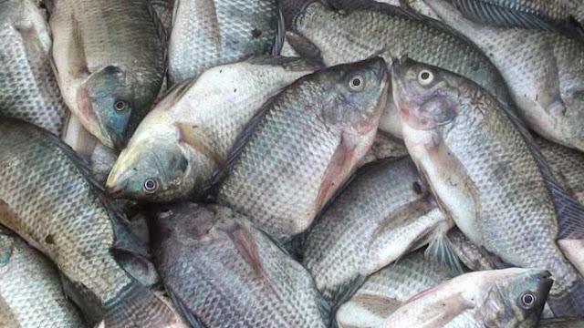 Inilah Supplier Penjual Ikan Nila Bibit dan Konsumsi di Serang, Banten