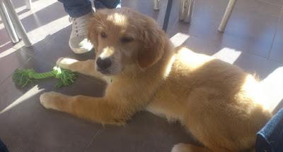 En ung Apelsinblomshund tycker det är toppen att få följa med på almuerzo