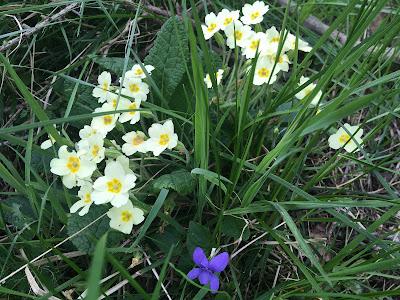 Primrose and violet