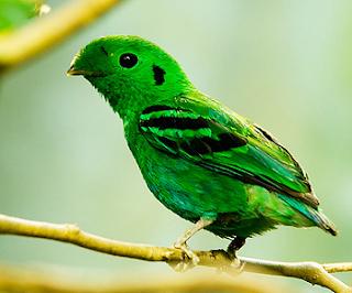 Burung madi hijau kecil adalah salah satu jenis burung dengan penampilan fisik yang unik dan dapat dijumpai di Indonesia. Burung ini disebut dengan Green broadbill dalam bahasa Inggrisnya dan memiliki nama latin (Calyptomena viridis)