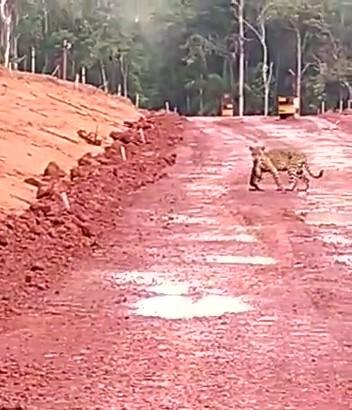 Onça-pintada é filmada em estrada aberta pela MRN  dentro de área florestal; vídeo