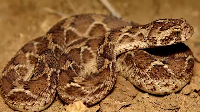 10 MOST VENOMOUS SNAKES ON EARTH 2. Saw-Scaled Viper, most venomous snake, most poisonous snake, top ten venomous snake, top ten poisonous snake
