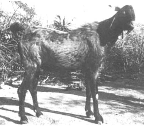 Gohilwadi Goat Characteritics & Farming Information – GoatAid