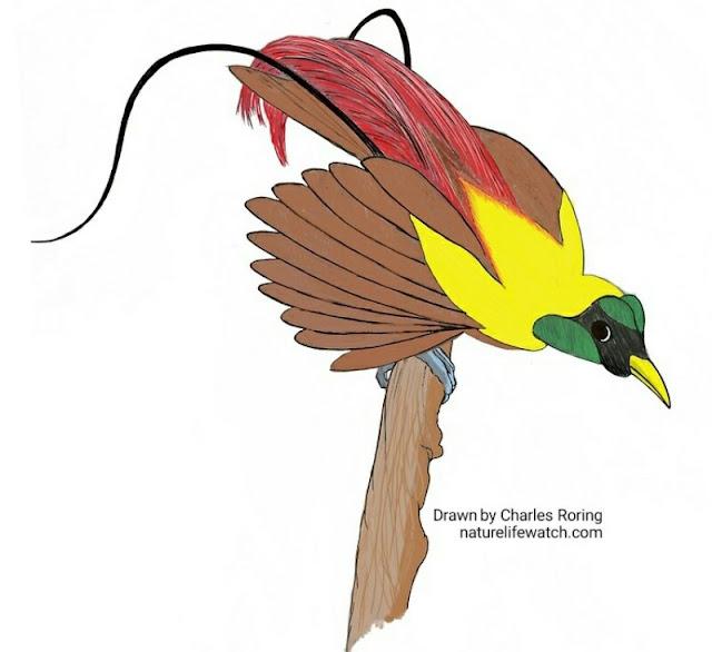 Red Bird of Paradise (Paradisaea rubra) an enhanced digital coloring from manual sketch