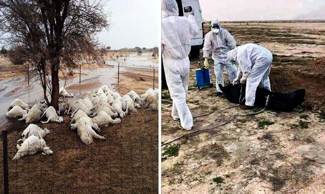 سليانة: فيضان وادي الخروب والمياه تجرف امرأة وقطيع أغنام