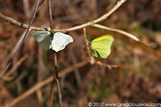 Le citron Gonepteryx rhamni ♀ à gauche, mâle à droite ♂, Forêt de Fontainebleau