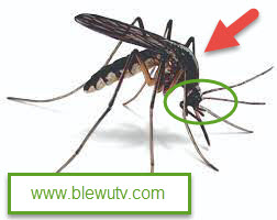 Arificial Mosquitoes Released in the US By Bill Gates Funded Company