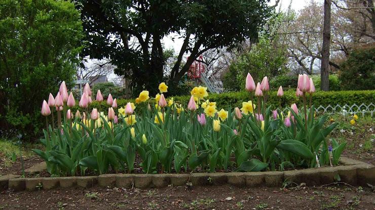チューリップの花が閉じられた花壇