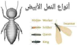 النمل الأبيض (The White Termite) وطرق التخلص منه