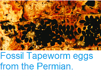 https://sciencythoughts.blogspot.com/2013/06/fossil-tapeworm-eggs-from-permian.html